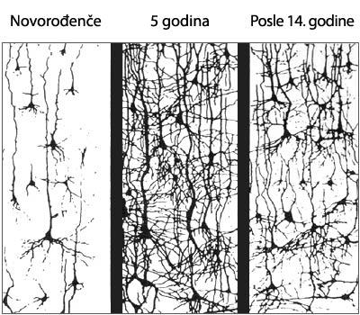 sinapse hemisfera mozak
